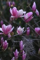 Japanese Magnolia Blooms