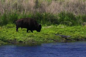 Bison Chasing Alligator